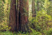 Coastal Redwood Forest