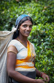 MASKELIYA, SRI LANKA - JANUARY 5 : Female tea picker in tea plan