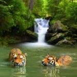 Постер, плакат: Siberian Tigers