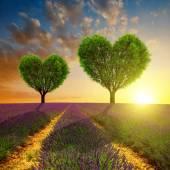 Levandulová pole se stromy ve tvaru srdce