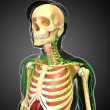 Постер, плакат: Lymphatic skeletal and respiratory system of Male body artwork