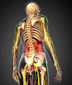 Lymfatický, kosterní, nervózní a oběhový systém mužské anat