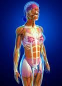 Női izmok anatómia