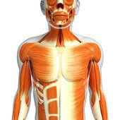 Mužské svaly anatomie