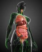 Lymfatický a trávicí systém ženské tělo kresby