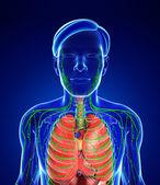 Lymfatický a trávicí systém mužského těla kresby