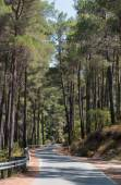 Empty forest road passing through green tall pine trees