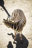 Zebra v zoo parku