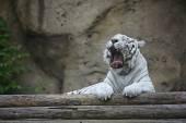 Albín bílý tygr