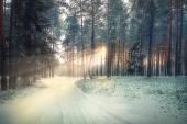 Zimní borový les