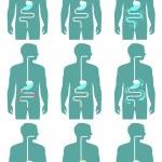 Постер, плакат: Human digestive system