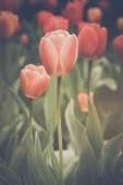 červené tulipány v zahradě