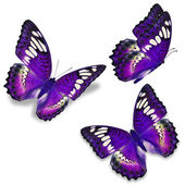 Three purple butterfly, isolated on white background