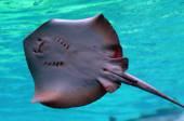 Stingray bottom in Sea World Gold Coast Australia