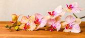 Schöne Komposition von blühenden Zweig Orchidee Blume, Phalaenopsis