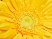 Čerstvá žlutá gerbera