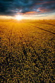 Field with blooming sunflowers on a background of sunset.