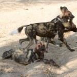 Постер, плакат: African wild dogs