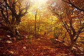 Autumn beech woods with yellow trees foliage in mountain forest, path at sunshine