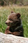 Medvěd grizzly mládě seděl na kládě