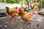 Bunte Hühner auf Geflügel-Hof