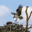 Постер, плакат: Osprey Pandion haliaetus