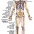 Постер, плакат: Anatomical body human skeleton anatomy of human bony system body surface contour and palpable bony prominences of the trunk and upper and lower limbs anterior view full body