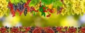 Viele Trauben auf grünem Hintergrund