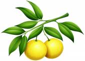 Fresh lemons on the branch illustration