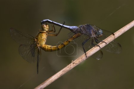 Постер, плакат: Reproduction of two wild yellow blue dragonfly, холст на подрамнике