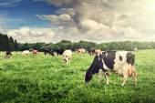 Az zöld mezőn legelésző tehén csorda