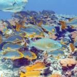Постер, плакат: School of Fishes near Coral Reef Maldives