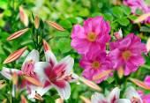 Krajina, šípkový květ