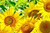 Krásné slunečnice pole v létě