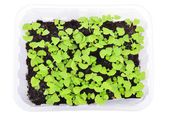 Basil seedlings in a pot isolated on white background. Young herb plants in plastic cells, organic gardening. Top view.