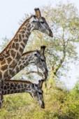 Žirafa v Kruger National park, Jihoafrická republika