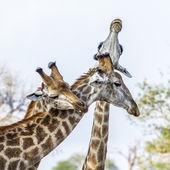 Giraffe im Krüger Nationalpark, Südafrika