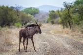 PAKŮŇ modrý v Kruger National park, Jihoafrická republika