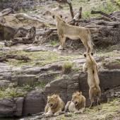 Lev v kruger national park, Jihoafrická republika