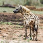 Strakaté hyaena v Kruger National park, Jihoafrická republika