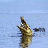 Krokodýl nilský v Kruger National park, Jihoafrická republika