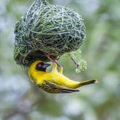Südlichen Masked-Weaver in Krüger Nationalpark, Südafrika