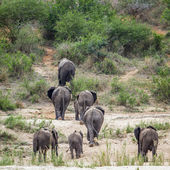 Slon africký v Kruger National park, Jihoafrická republika