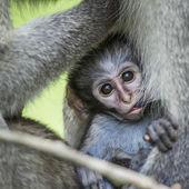 Opice kočkodani v kruger national park, Jihoafrická republika