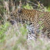 Leopard Kruger Nemzeti park, Dél-afrikai Köztársaság