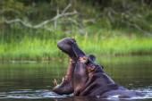 Víziló a Kruger Nemzeti park, Dél-afrikai Köztársaság