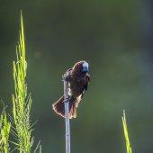 Magtörő szövőmadár Kruger Nemzeti park, Dél-afrikai Köztársaság