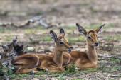 Impala Kruger Nemzeti park, Dél-afrikai Köztársaság