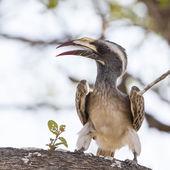 Szürke tokó a Kruger Nemzeti park