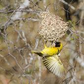 Village weaver in Kruger National park